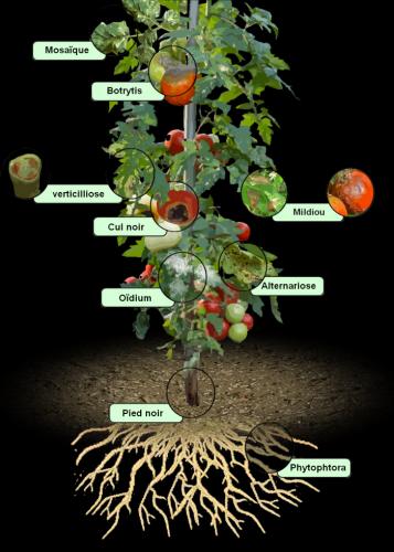 maladie des tomates - les symptomes.png