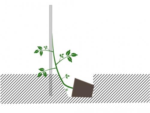 Illustration-plant-de-tomate-1024x768.jpg