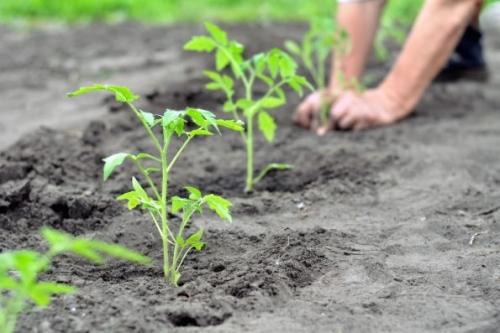 plantation-tomate-yuriys-595x397.jpg