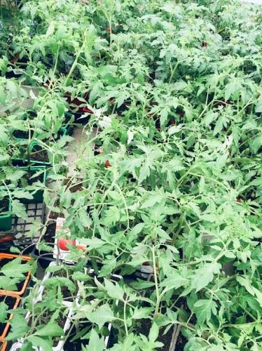 gangdestomates, potager, jardinage, tomates